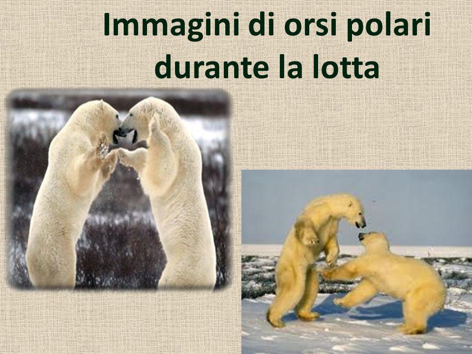 Immagini di orsi polari durante la lotta