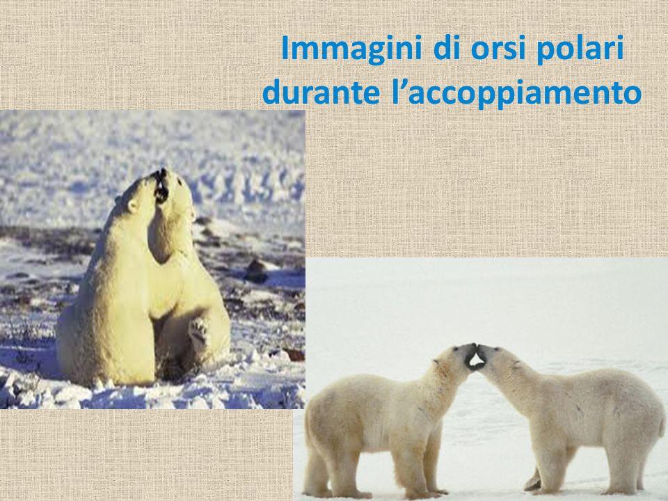 Immagini di orsi polari durante l'accoppiamento