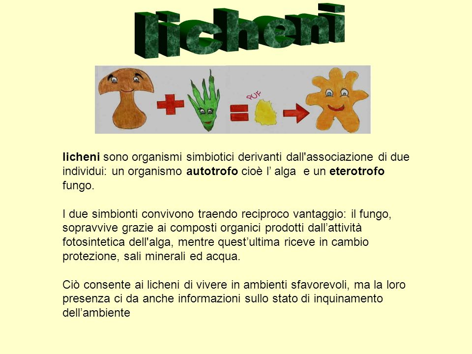licheni licheni sono organismi simbiotici derivanti dall associazione di due individui: un organismo autotrofo cioè l' alga e un eterotrofo fungo.