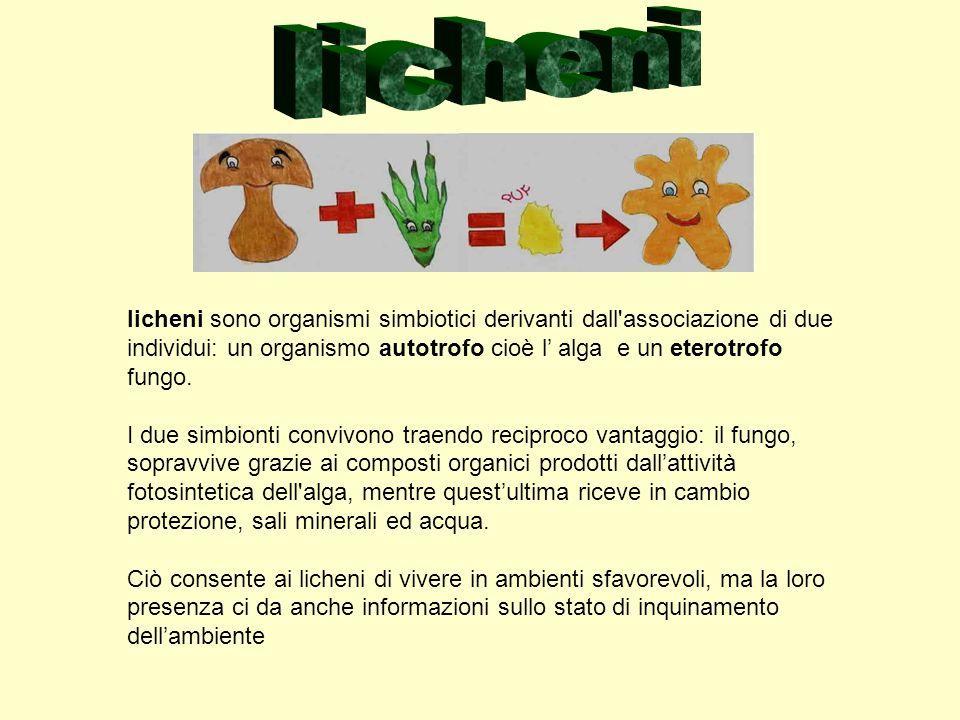 lichenilicheni sono organismi simbiotici derivanti dall associazione di due individui: un organismo autotrofo cioè l' alga e un eterotrofo fungo.