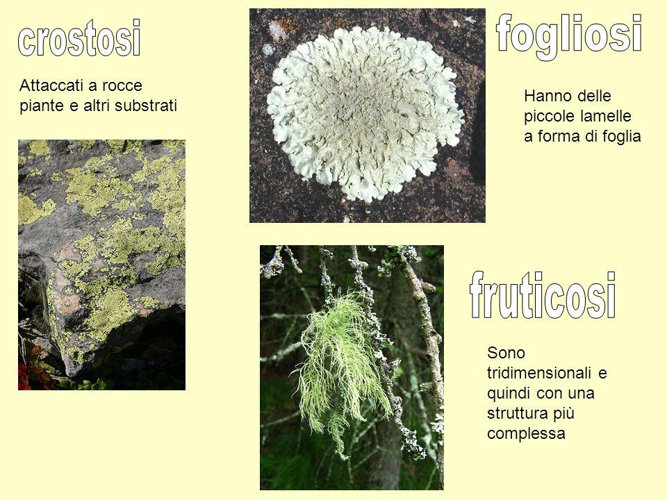 fogliosi crostosi fruticosi Attaccati a rocce piante e altri substrati