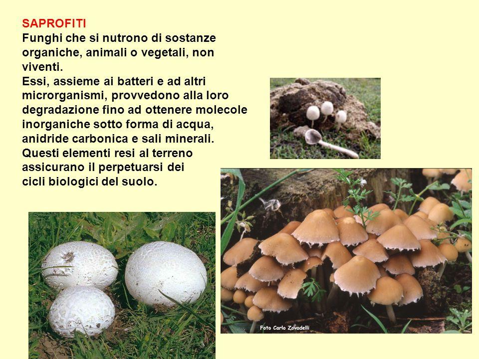 SAPROFITI Funghi che si nutrono di sostanze organiche, animali o vegetali, non viventi.