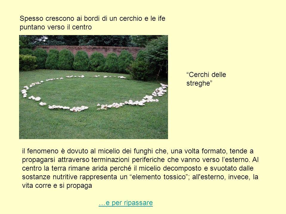 Spesso crescono ai bordi di un cerchio e le ife puntano verso il centro
