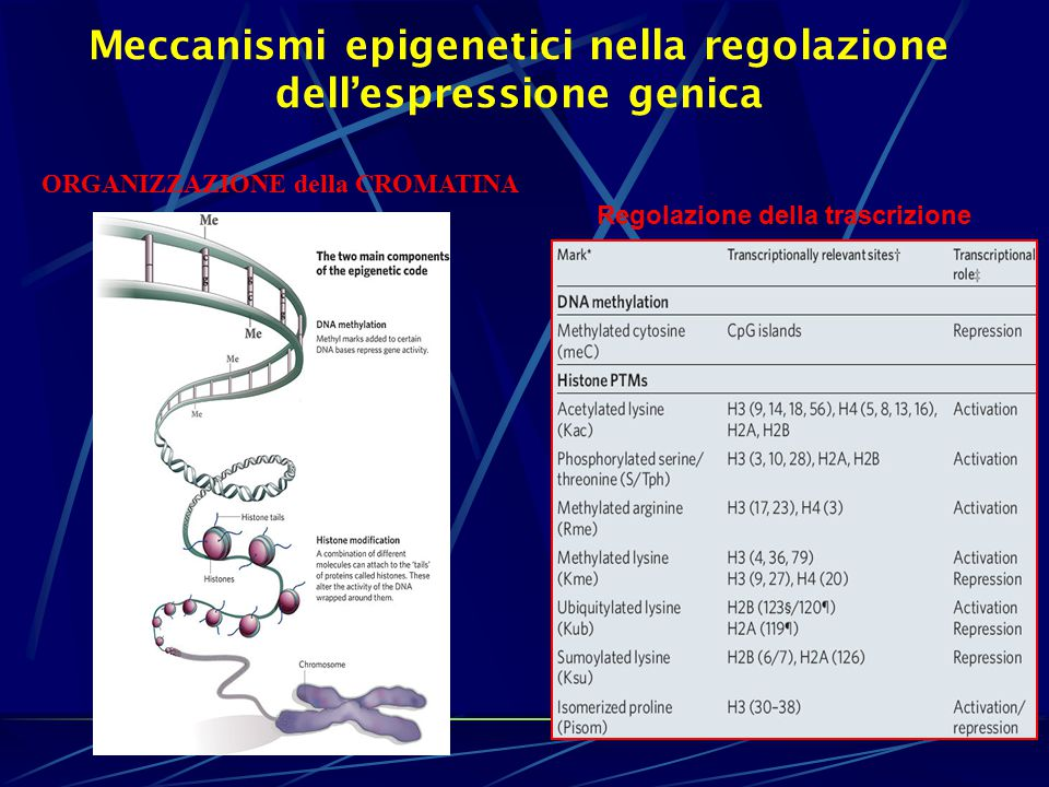 Meccanismi epigenetici nella regolazione dell'espressione genica