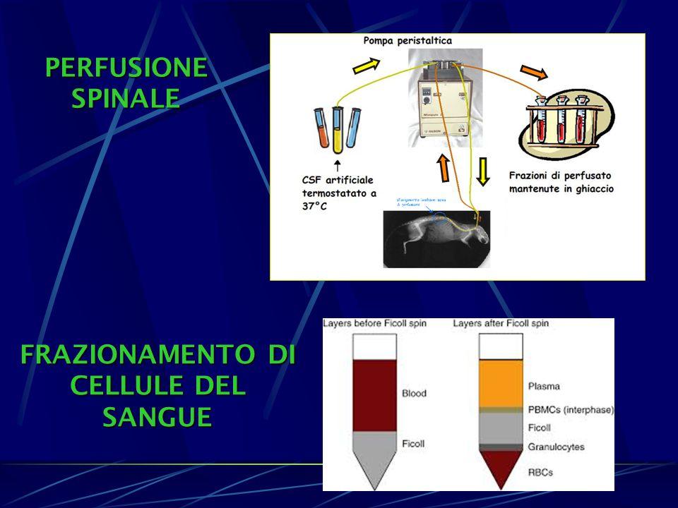 PERFUSIONE SPINALE FRAZIONAMENTO DI CELLULE DEL SANGUE