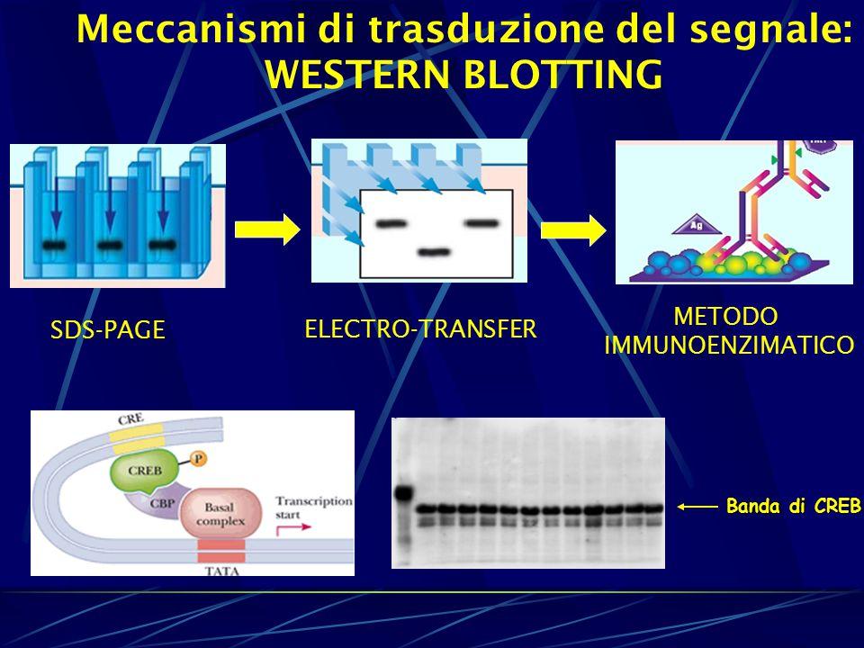 Meccanismi di trasduzione del segnale: WESTERN BLOTTING