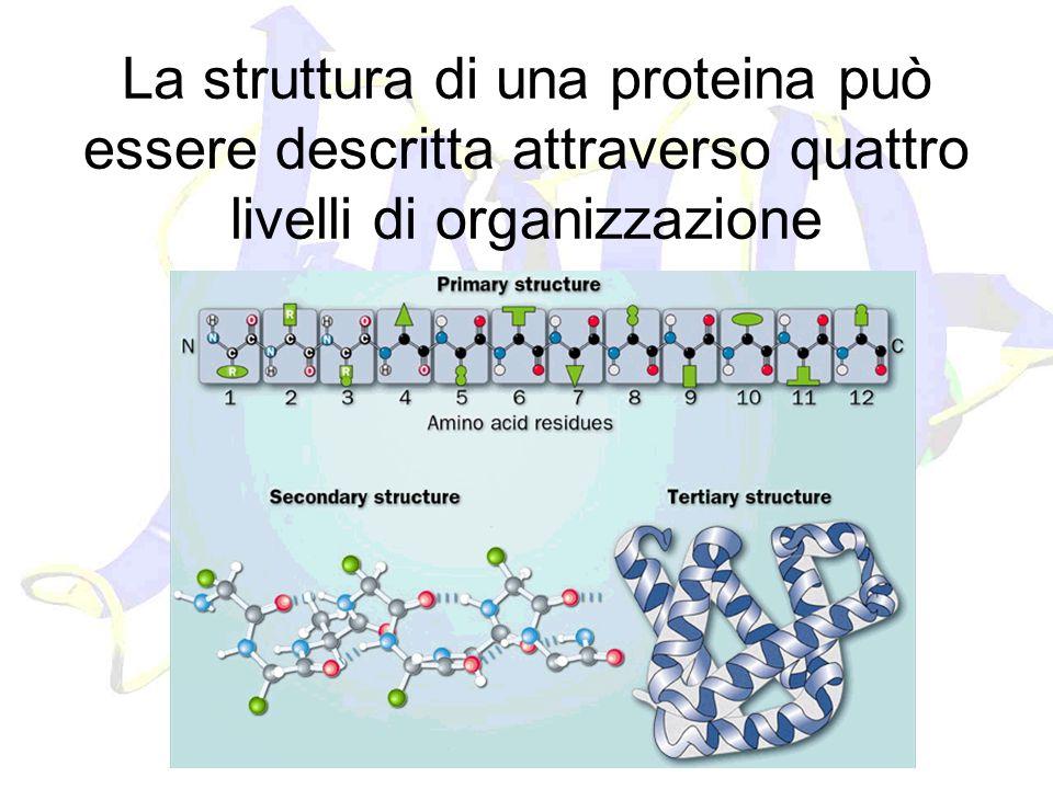 La struttura di una proteina può essere descritta attraverso quattro livelli di organizzazione
