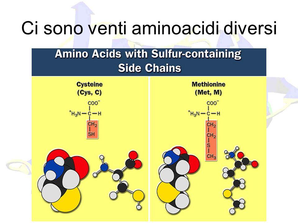 Ci sono venti aminoacidi diversi
