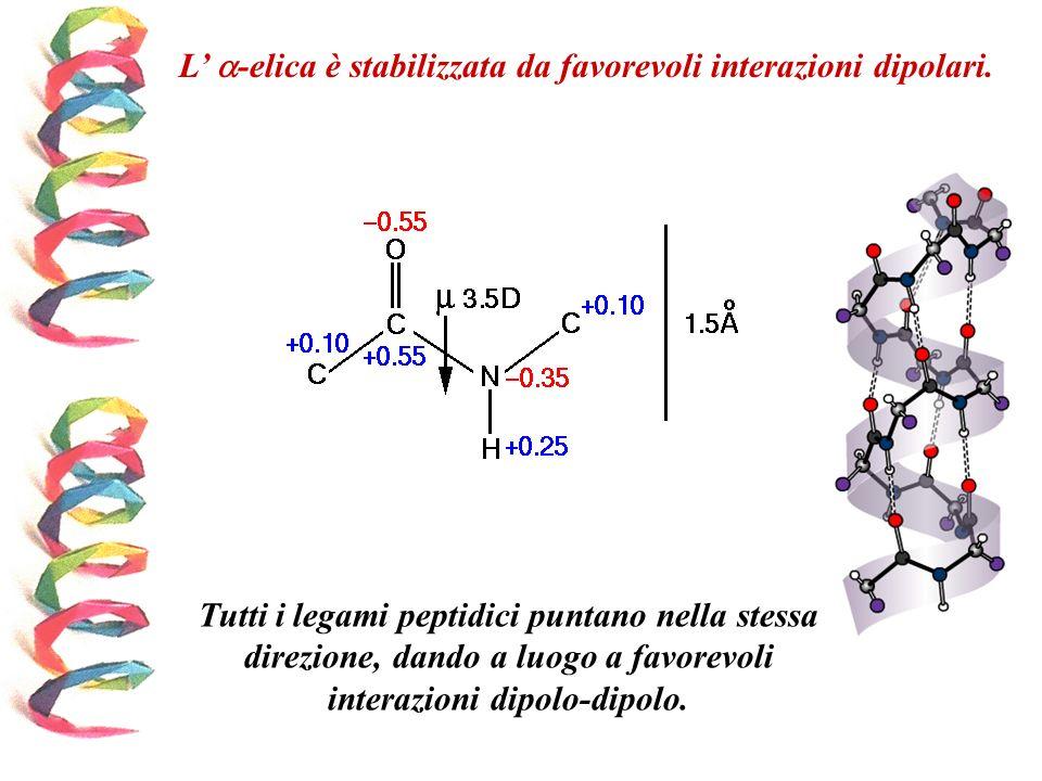 L' -elica è stabilizzata da favorevoli interazioni dipolari.