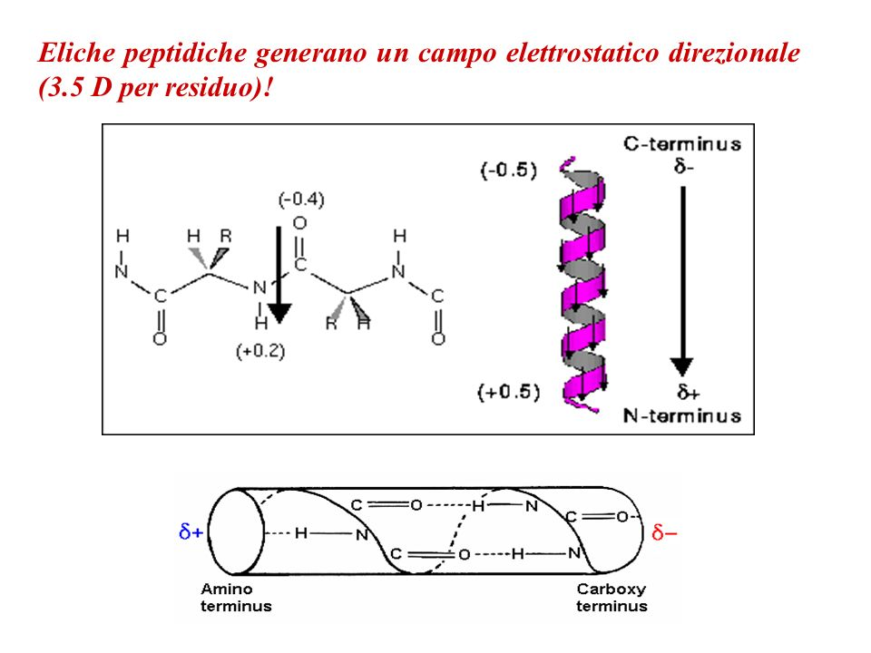 Eliche peptidiche generano un campo elettrostatico direzionale (3