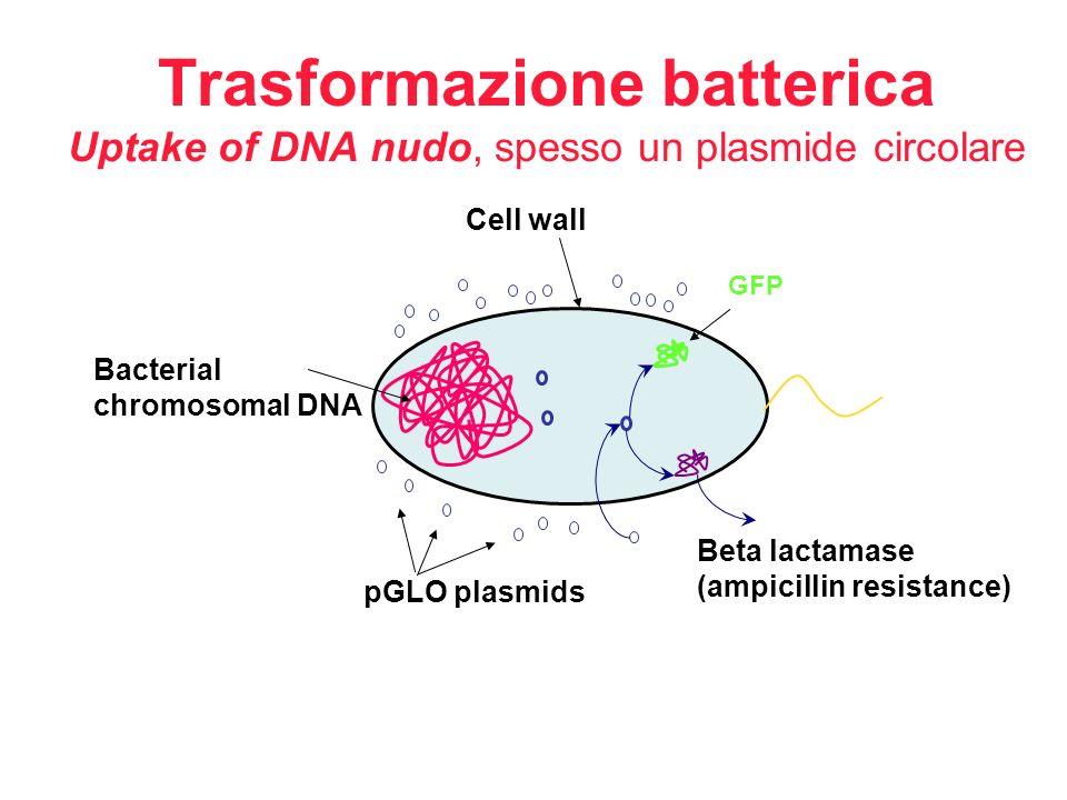 Trasformazione batterica Uptake of DNA nudo, spesso un plasmide circolare