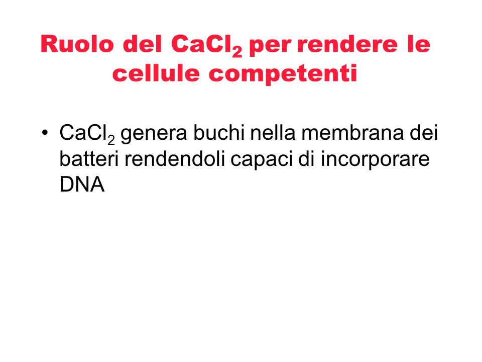 Ruolo del CaCl2 per rendere le cellule competenti