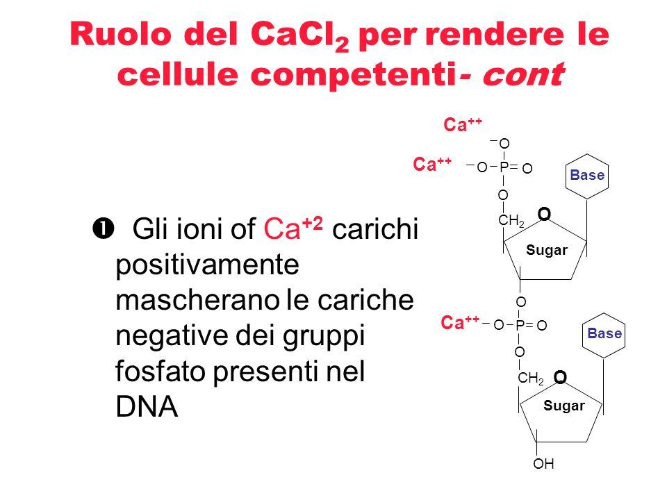 Ruolo del CaCl2 per rendere le cellule competenti- cont