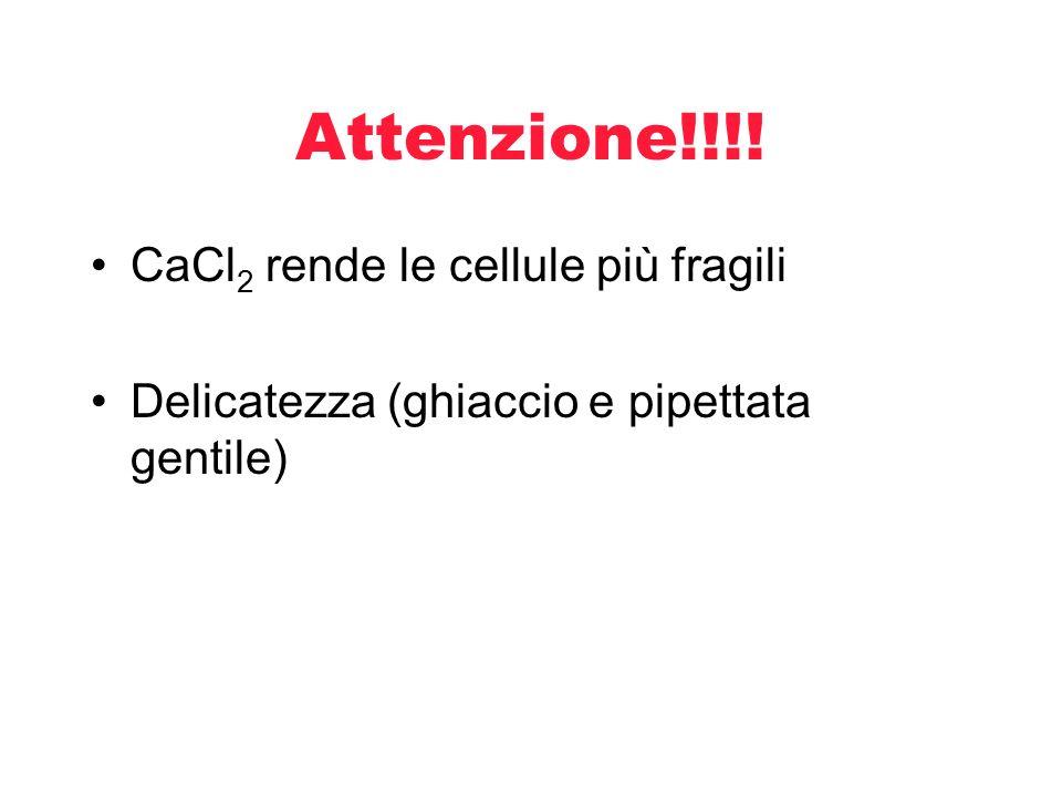Attenzione!!!! CaCl2 rende le cellule più fragili