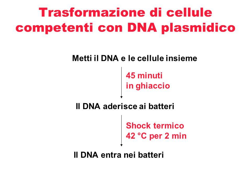 Trasformazione di cellule competenti con DNA plasmidico