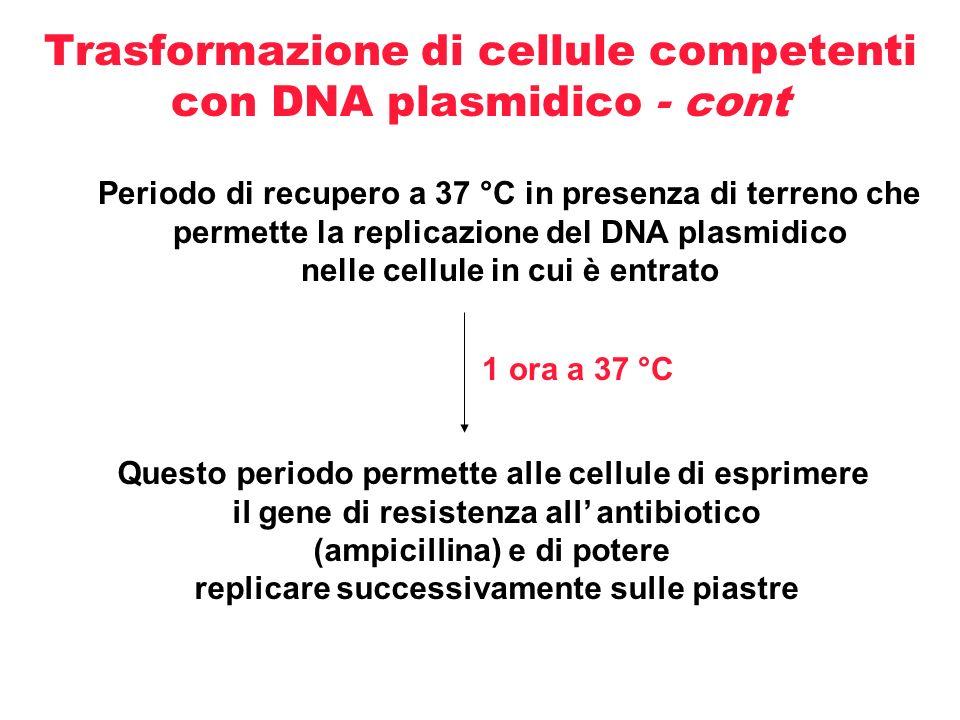 Trasformazione di cellule competenti con DNA plasmidico - cont