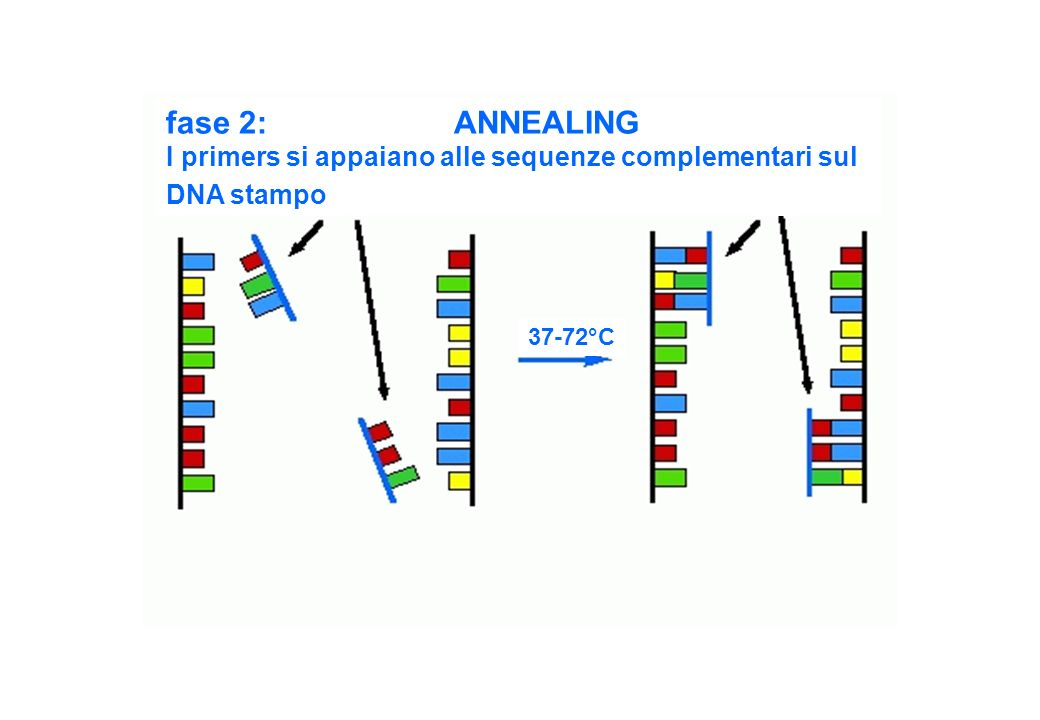 fase 2: ANNEALING I primers si appaiano alle sequenze complementari sul DNA stampo 37-72°C