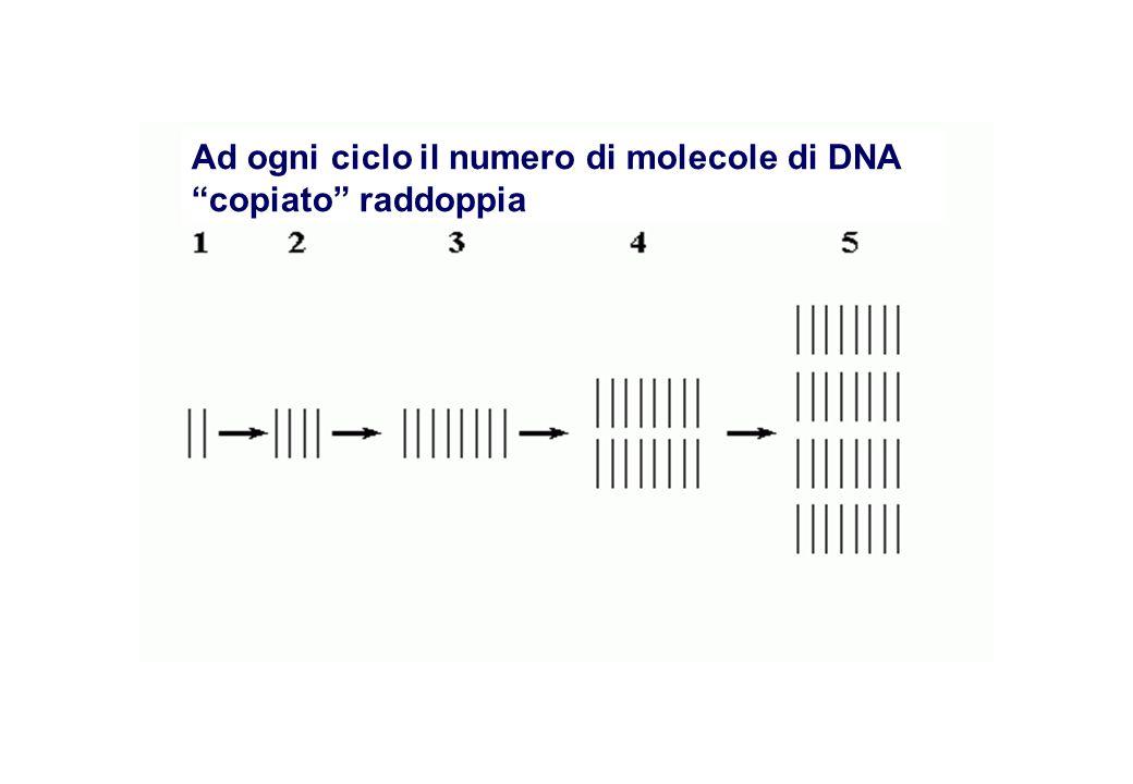 Ad ogni ciclo il numero di molecole di DNA copiato raddoppia