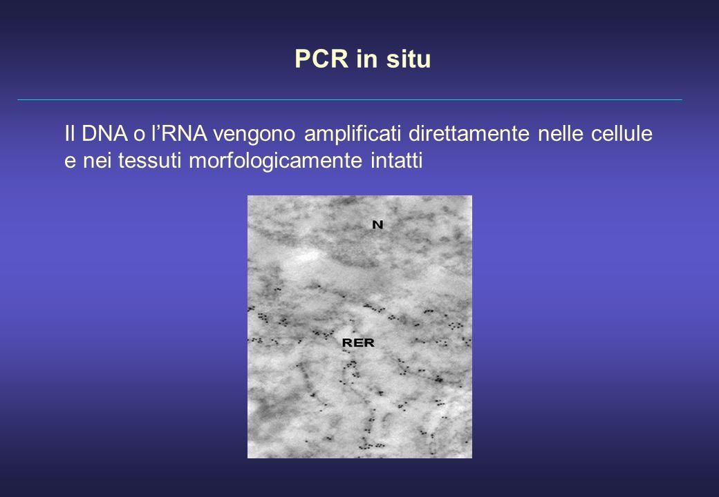 PCR in situ Il DNA o l'RNA vengono amplificati direttamente nelle cellule e nei tessuti morfologicamente intatti.