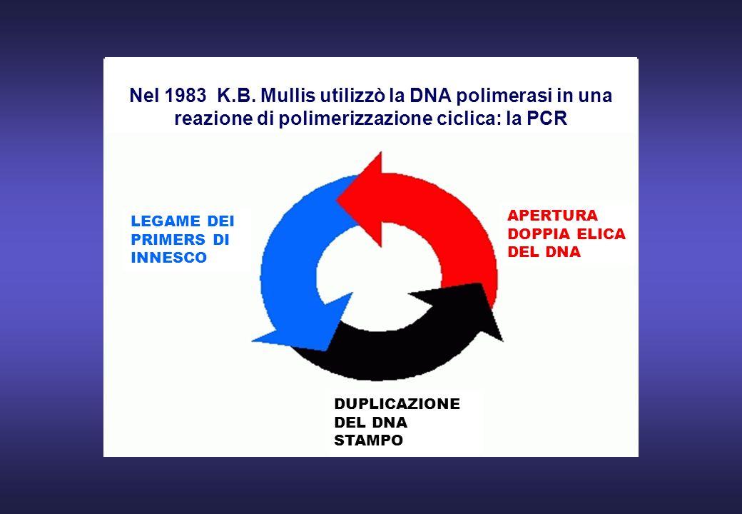 Nel 1983 K.B. Mullis utilizzò la DNA polimerasi in una reazione di polimerizzazione ciclica: la PCR