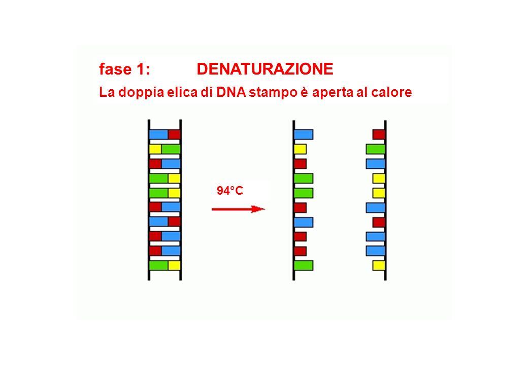 fase 1: DENATURAZIONE La doppia elica di DNA stampo è aperta al calore
