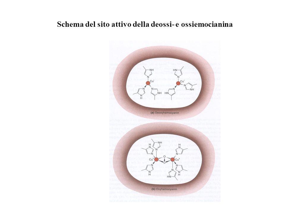 Schema del sito attivo della deossi- e ossiemocianina