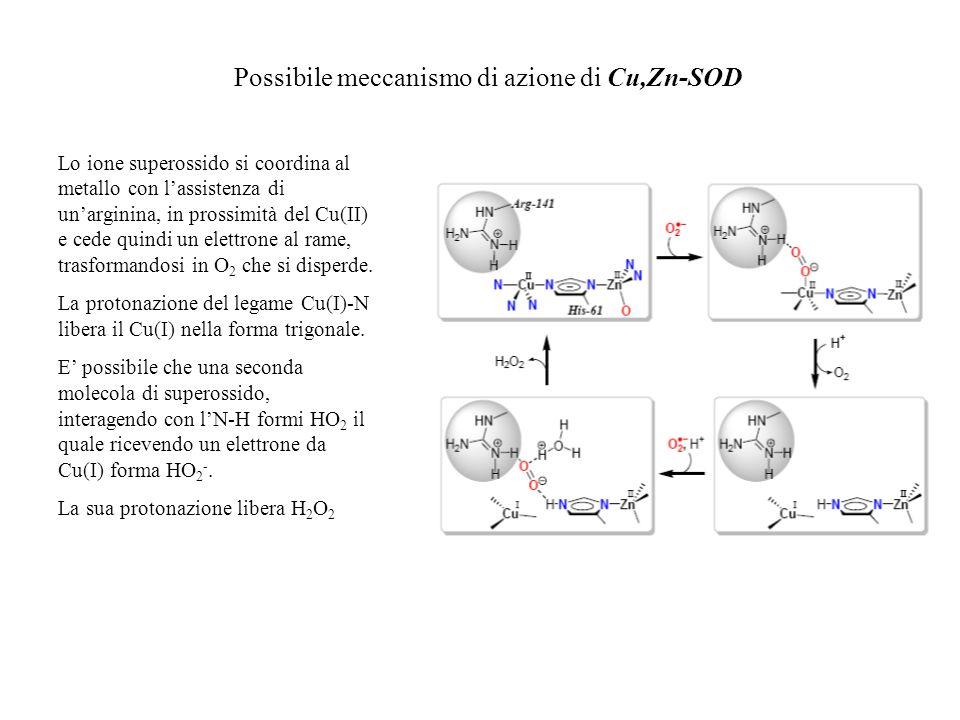 Possibile meccanismo di azione di Cu,Zn-SOD