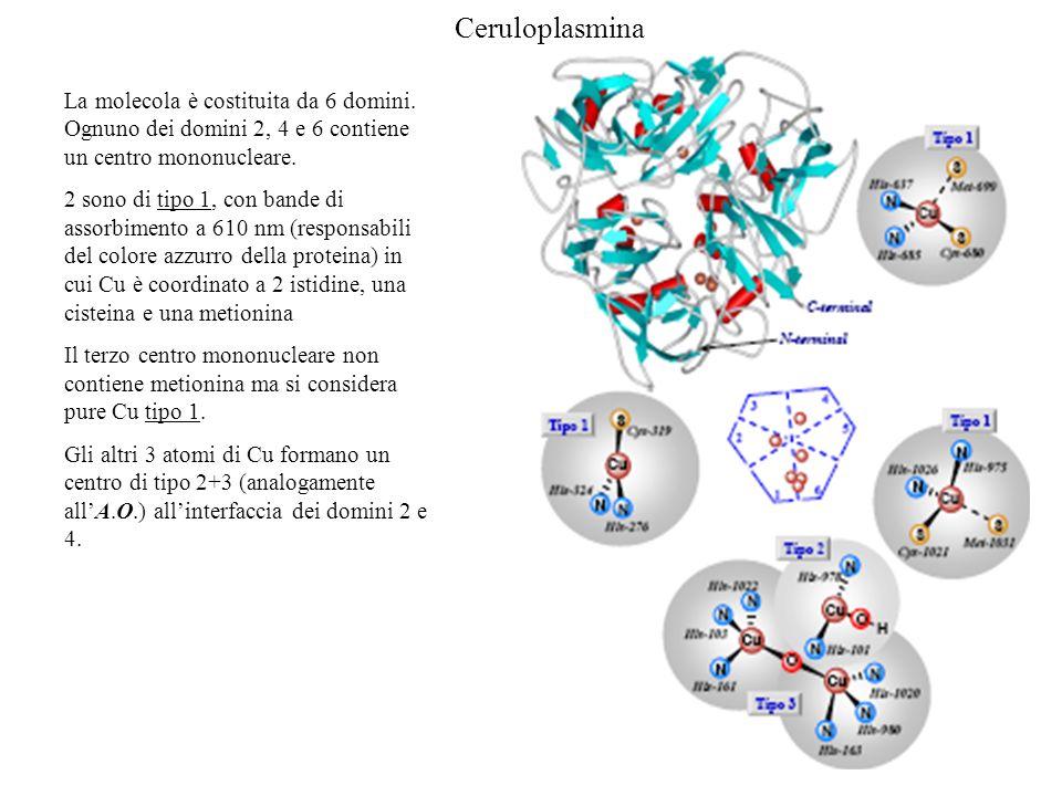 Ceruloplasmina La molecola è costituita da 6 domini. Ognuno dei domini 2, 4 e 6 contiene un centro mononucleare.