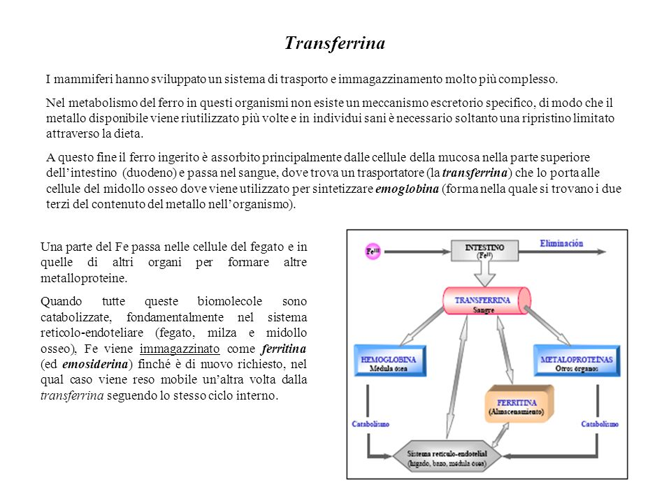 Transferrina I mammiferi hanno sviluppato un sistema di trasporto e immagazzinamento molto più complesso.