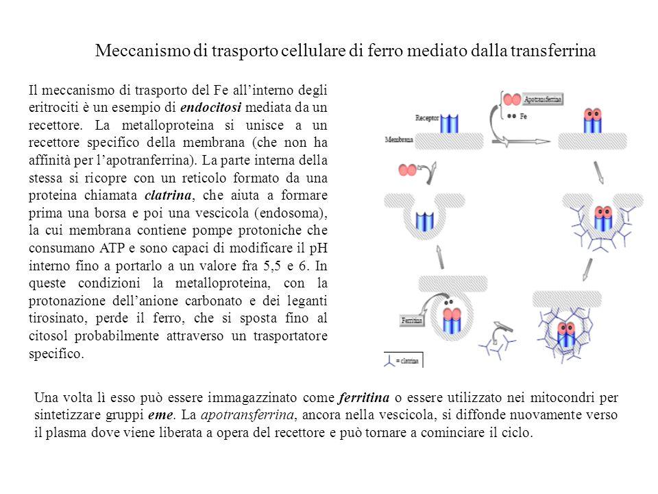 Meccanismo di trasporto cellulare di ferro mediato dalla transferrina