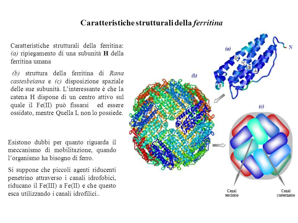 Caratteristiche strutturali della ferritina