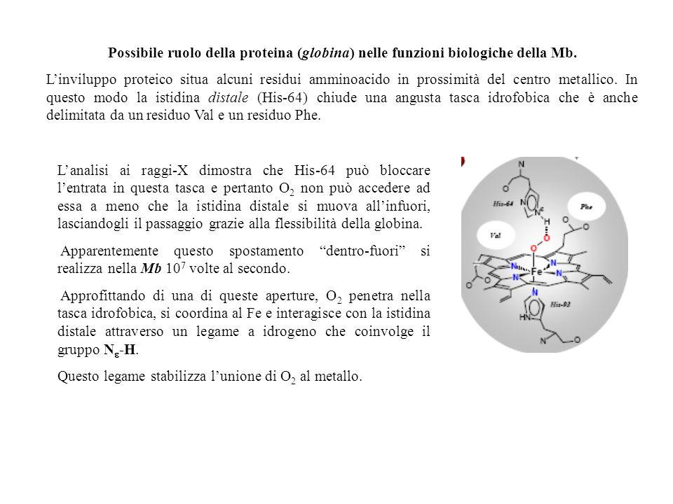 Possibile ruolo della proteina (globina) nelle funzioni biologiche della Mb.