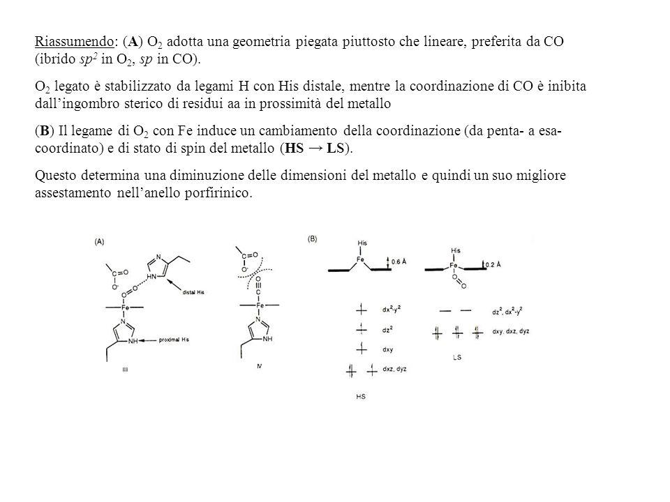 Riassumendo: (A) O2 adotta una geometria piegata piuttosto che lineare, preferita da CO (ibrido sp2 in O2, sp in CO).