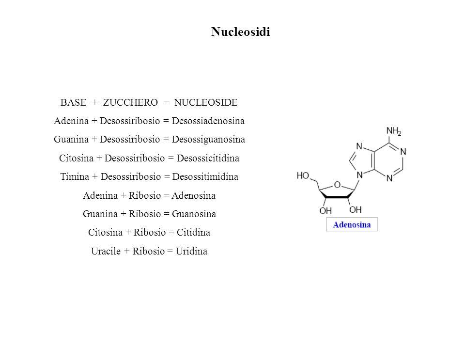 Nucleosidi BASE + ZUCCHERO = NUCLEOSIDE