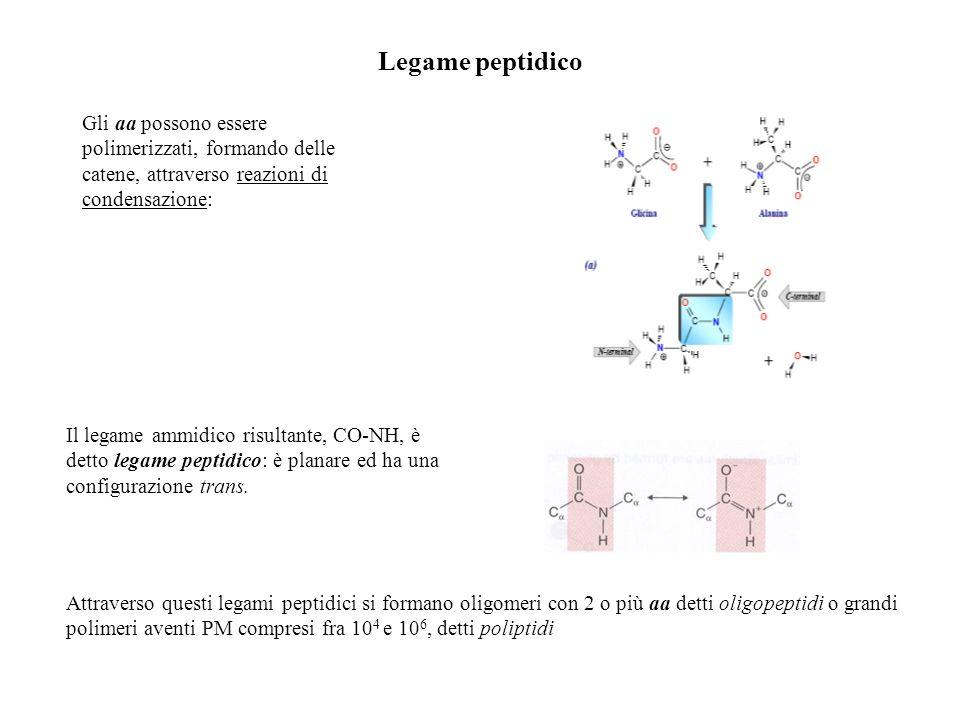 Legame peptidico Gli aa possono essere polimerizzati, formando delle catene, attraverso reazioni di condensazione: