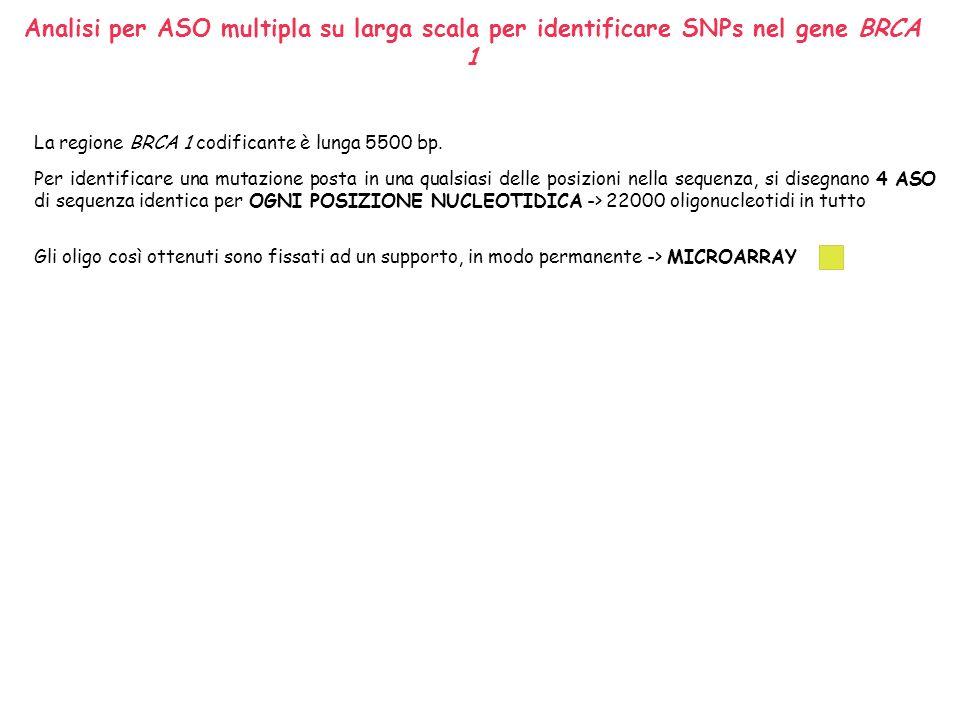 Analisi per ASO multipla su larga scala per identificare SNPs nel gene BRCA 1