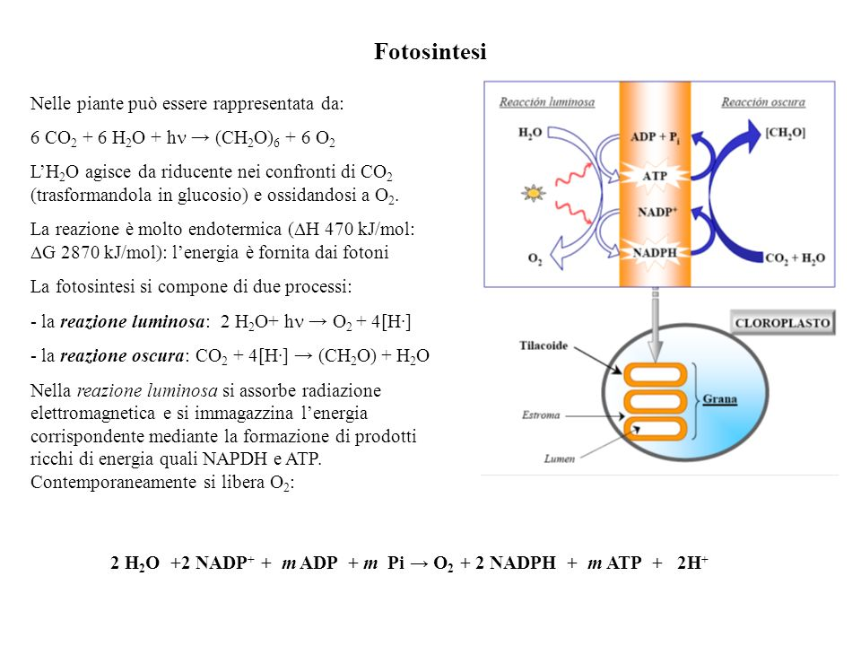 2 H2O +2 NADP+ + m ADP + m Pi → O2 + 2 NADPH + m ATP + 2H+