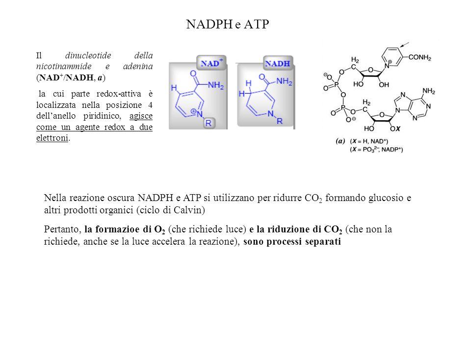 NADPH e ATP Il dinucleotide della nicotinammide e adenina (NAD+/NADH, a)