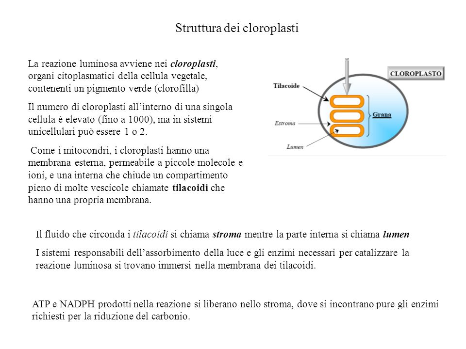 Struttura dei cloroplasti
