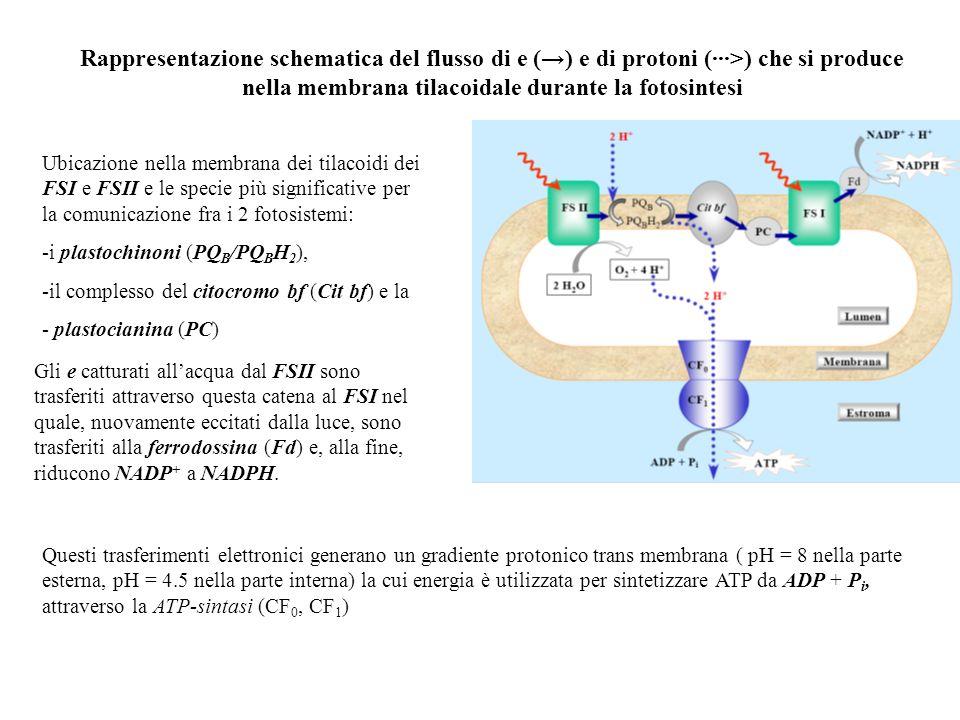 Rappresentazione schematica del flusso di e (→) e di protoni (···>) che si produce nella membrana tilacoidale durante la fotosintesi