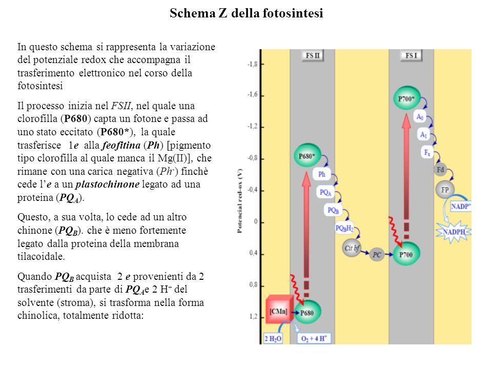 Schema Z della fotosintesi