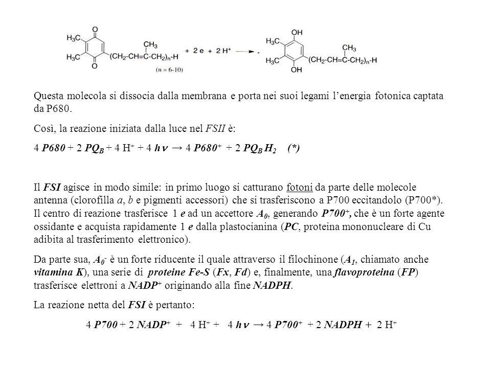 4 P700 + 2 NADP+ + 4 H+ + 4 h → 4 P700+ + 2 NADPH + 2 H+