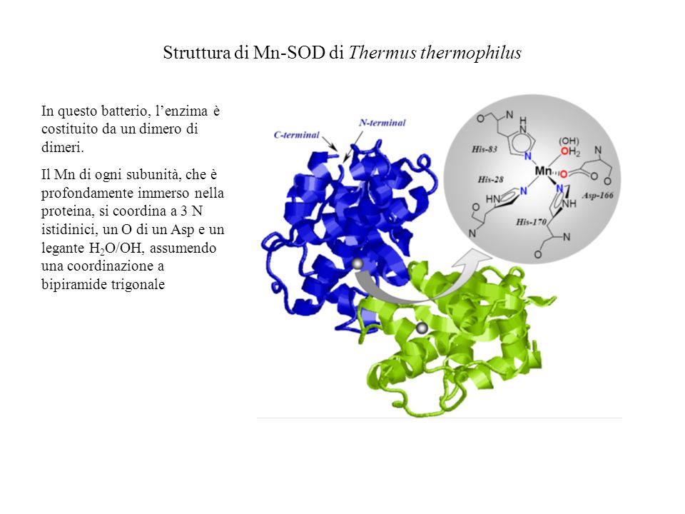 Struttura di Mn-SOD di Thermus thermophilus