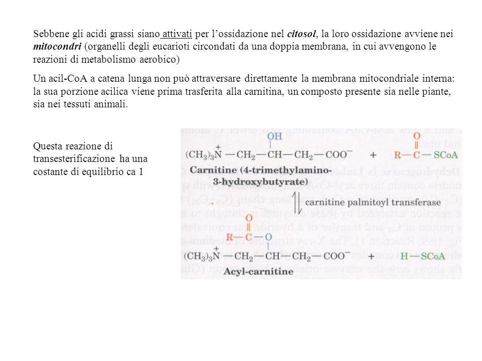 Sebbene gli acidi grassi siano attivati per l'ossidazione nel citosol, la loro ossidazione avviene nei mitocondri (organelli degli eucarioti circondati da una doppia membrana, in cui avvengono le reazioni di metabolismo aerobico)
