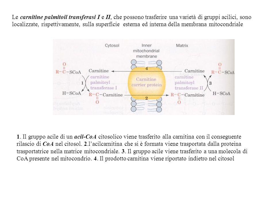 Le carnitine palmitoil transferasi I e II, che possono trasferire una varietà di gruppi acilici, sono localizzate, rispettivamente, sulla superficie esterna ed interna della membrana mitocondriale