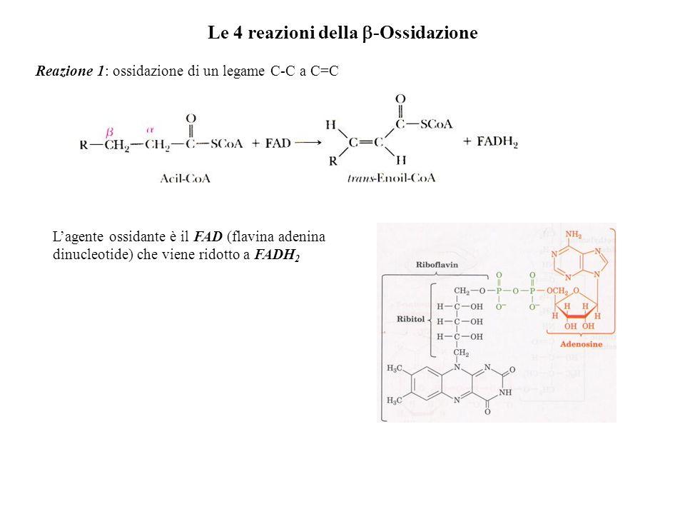 Le 4 reazioni della -Ossidazione