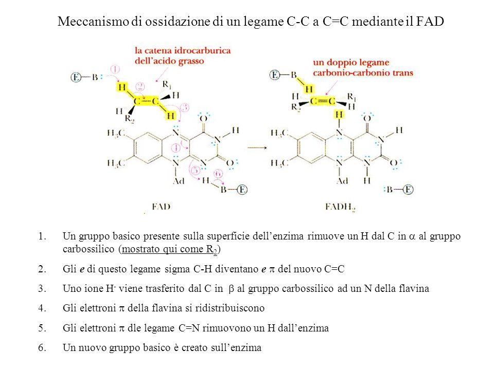 Meccanismo di ossidazione di un legame C-C a C=C mediante il FAD