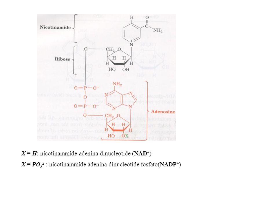 X = H: nicotinammide adenina dinucleotide (NAD+)