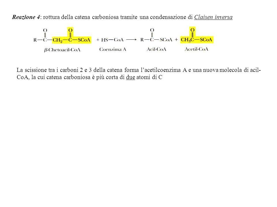 Reazione 4: rottura della catena carboniosa tramite una condensazione di Claisen inversa