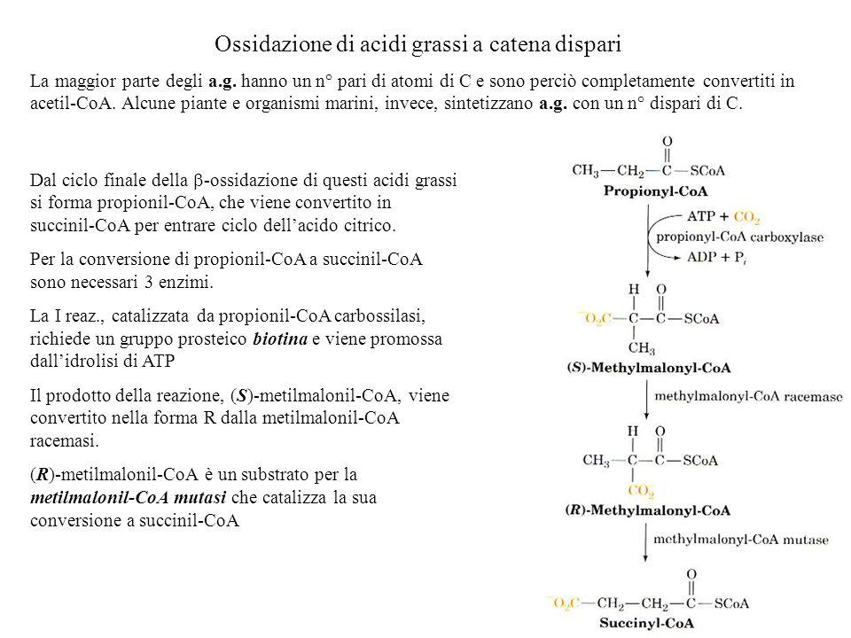 Ossidazione di acidi grassi a catena dispari
